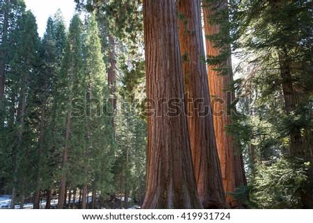 giant sequoia tree trunks  - stock photo