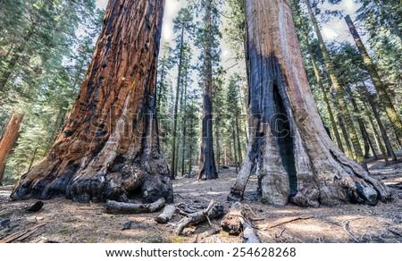 Giant Sequoia Trees in Sequoia National Park, California. - stock photo