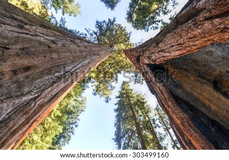 Giant Sequoia Trees in Sequoia National Park, California. - stock photo