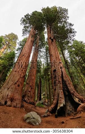 Giant Sequoia Trees, Sequoia National Park - stock photo