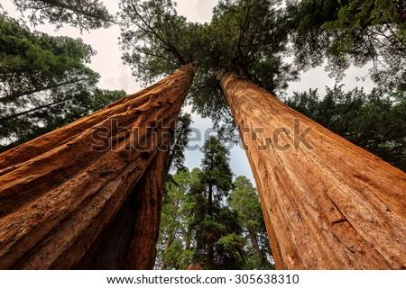 Giant Sequoia Trees, Sequoia National Park, California - stock photo