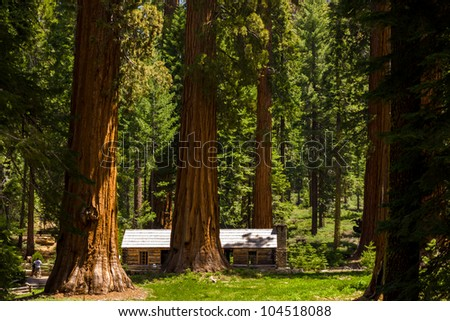 Giant Sequoias at Mariposa grove, Yosemite, California. - stock photo