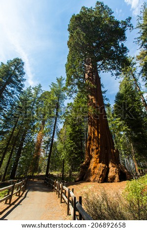 giant sequoias in sequoia national park, california - stock photo