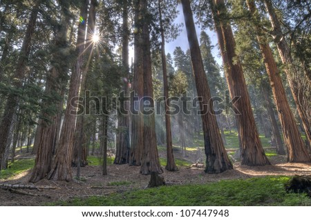 Giant Sequoias in the Giant Forest at Sequoia National Park. - stock photo