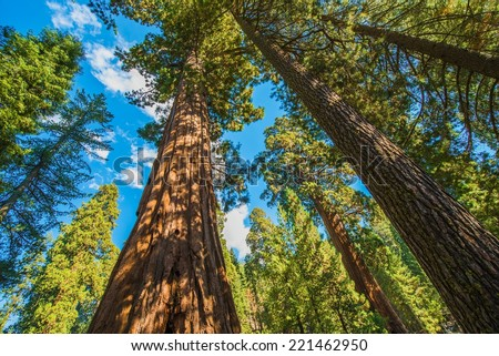 Giant Sequoias in the Sequoia National Park in California, USA. - stock photo