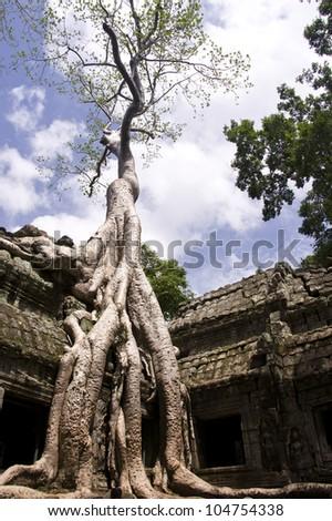 Giant Silk Cotton Tree in Ta Prohm - stock photo