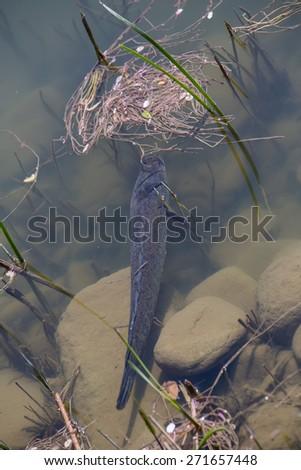 Giant snake head fish,korea - stock photo