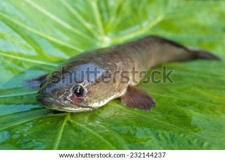 Giant snakehead fish on green background.