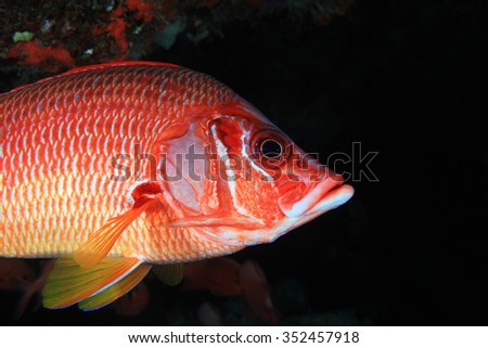 Giant Squirrelfish (Sargocentron spiniferum), in the tropical coral reef of the indian ocean - stock photo