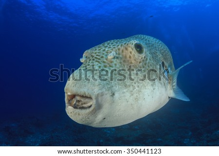 Giant (Starry) Puffer fish