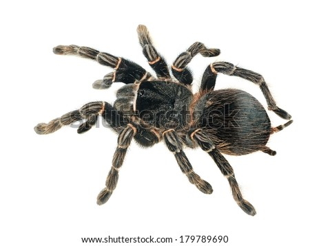 giant tarantula Lasiodora parahybana isolated - stock photo