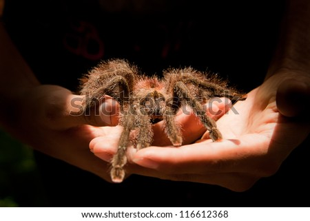 Giant Tarantula spider walking on a couple of hands - stock photo