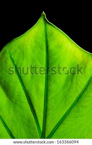 Giant Taro plant leaf also known as:Alocasia machrorhiza,Dieffenbachia (Dumb Cane), Elephant Ear, Cunjevoi isolated on black background - stock photo