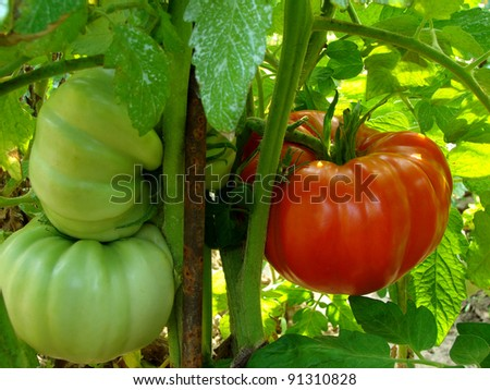 giant tomatoes growing on the branch - stock photo