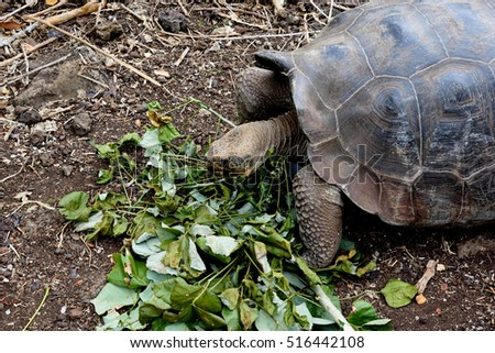 Giant Tortoise Eating Leaves, The Galapagos