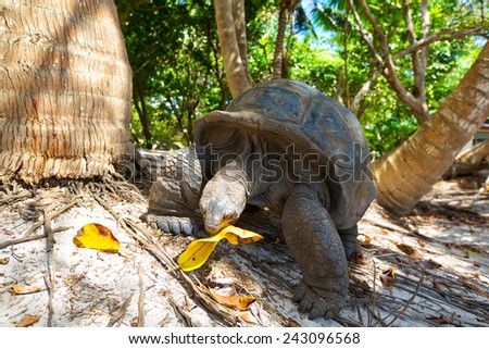 Giant tortoise ( Geochelone gigantic ) eating in wildlife. Corieuse Island, Seychelles - stock photo