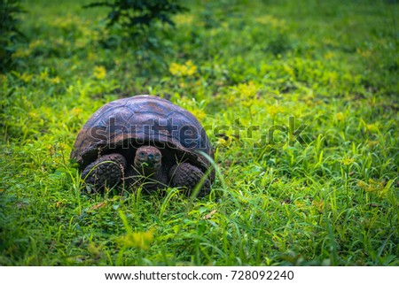 Giant Tortoise in the El Chato reserve of Santa Cruz Island, Galapagos Islands, Ecuador