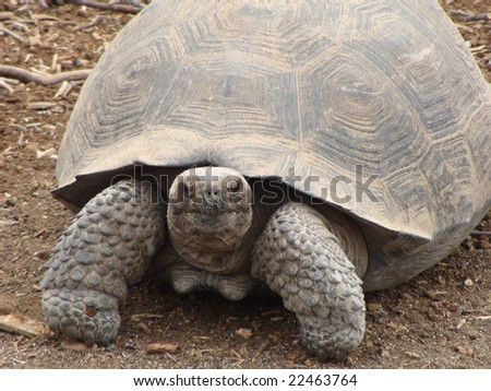 Giant Tortoise in the Galapagos Islands - stock photo