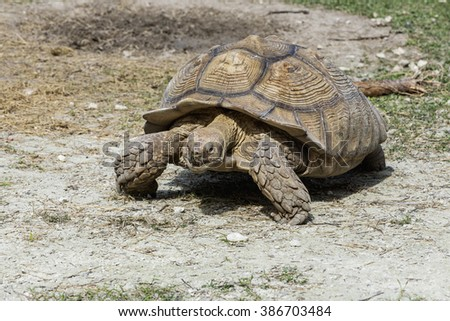 giant tortoise resting in Florida Everglades