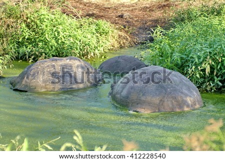 Giant tortoises in an algae covered pond with only back shells visible on Puerto Ayora, in the Galapagos Islands - stock photo