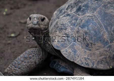 Giant tortoises in Darwin Station, Galapagos Islands, Ecuador - stock photo