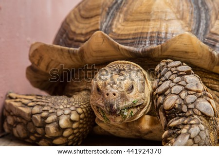 Giant tortoises on the concrete spur thighed tortoise named African Sulcata Tortoise named scientific Geochelone sulcata. - stock photo