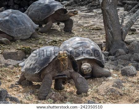 Giant Tortoises -Santa Cruz Island Galapagos National park Ecuador - stock photo