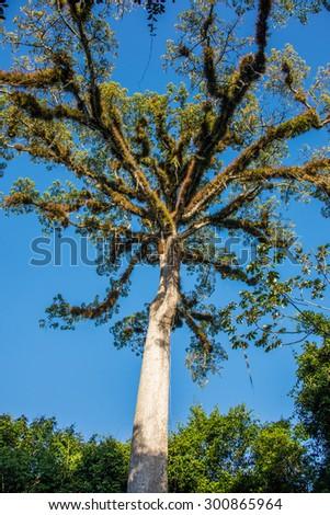Giant Tree at Tikal Mayan Ruins, Traveling through Guatemala. - stock photo