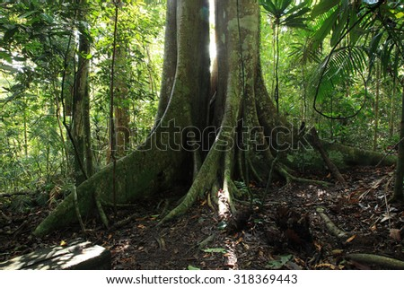 Giant tree in a national park, north-eastern Thailand