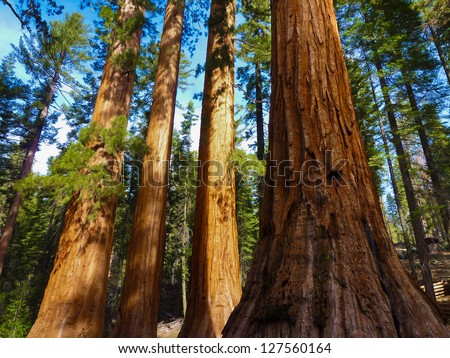 Giant Trees in Yosemite National Park,California - stock photo