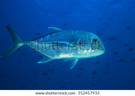 Giant trevally (Caranx ignobilis) in tropical waters of the indian ocean