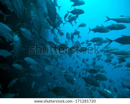 Giant trevally in Bohol sea, Phlippines Islands - stock photo