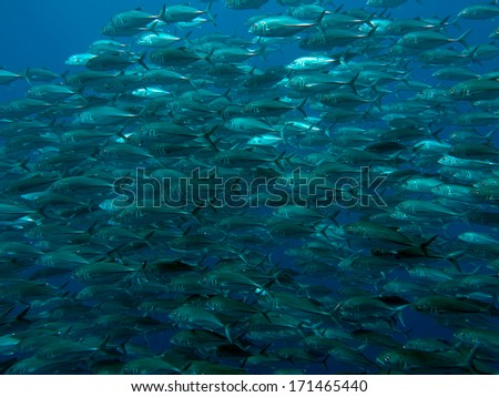 Giant trevally in Bohol sea, Phlippines Islands