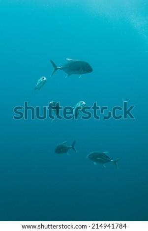 Giant trevally in ocean - stock photo