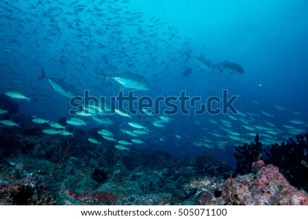 Giant trevally make an attack on Bartail fusilier