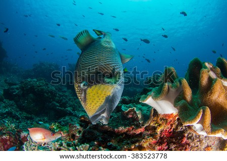 Giant triggerfish eating a healthy reef. Nusa Penida, Indonesia.
