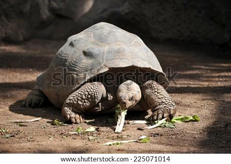 giant turtle eats greens - stock photo
