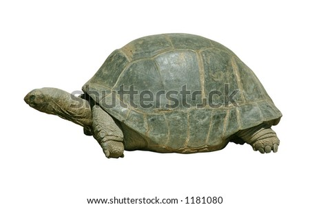 Giant turtle isolated on white with clipping path - stock photo