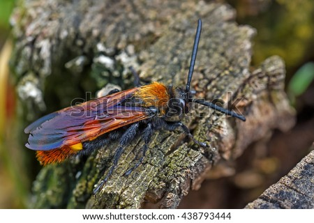 Giant wasp or Scolia