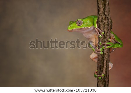Giant Waxy Monkey Tree Frog (Phyllomedusa bicolor) looking around - stock photo