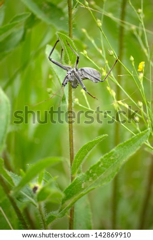 Giant wheel bug hanging upside-down in the grass. - stock photo