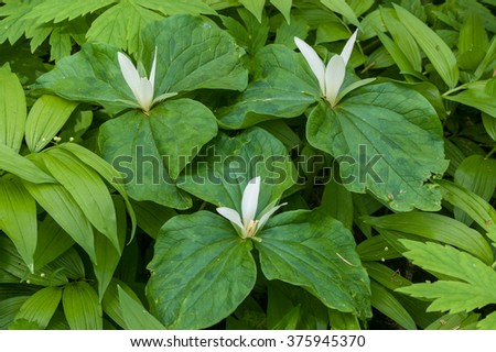 Giant White Wakerobin - Trillium albidum. Three that have 3 leaves and 3 petals. - stock photo