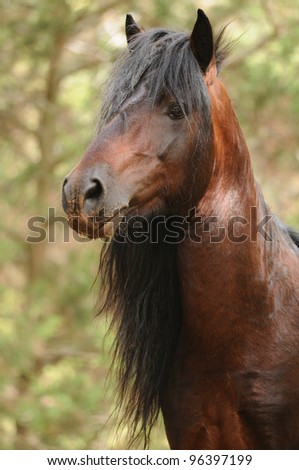 Giara horse - portrait. Rare endemic sardinian horse. - stock photo