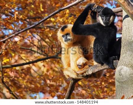 gibbon couple with child - stock photo
