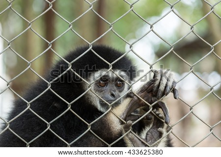 gibbon,Gibbon in zoo cage,Beauty and loveliness of Gibbons,Colorful Gibbons,Looking Gibbons