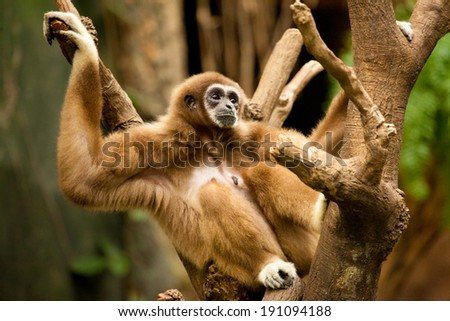 Gibbon in a Tree - stock photo