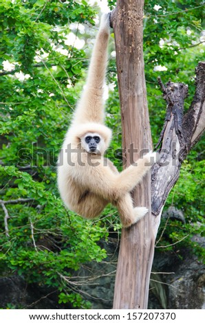 gibbon in the jungle - stock photo
