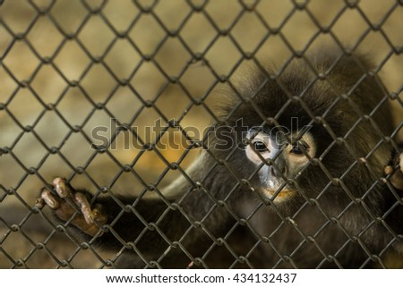Gibbon in zoo cage ,shot through the cage
