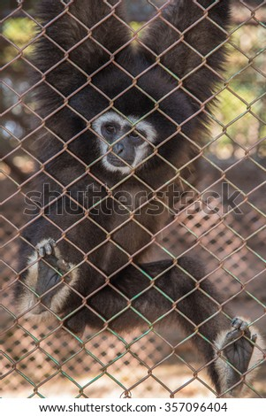 Gibbon monkey unhappy in the cage - stock photo