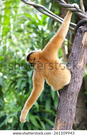 Gibbon, or lesser ape from Asia